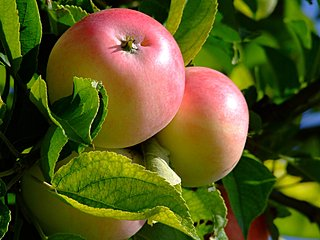 Obstbaumschnitt Apfelbaum