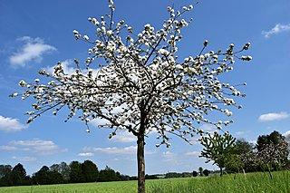 Obstbaumschnitt Kirschbaum