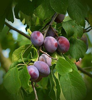 Obstbaumschnitt Pflaumenbaum