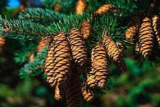Baumschnitt Nadelholz