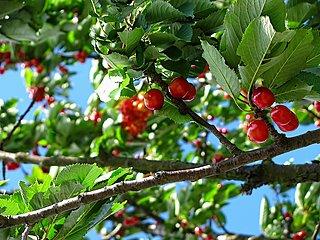 Baumschnitt Obstbaum